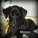 a_shiner